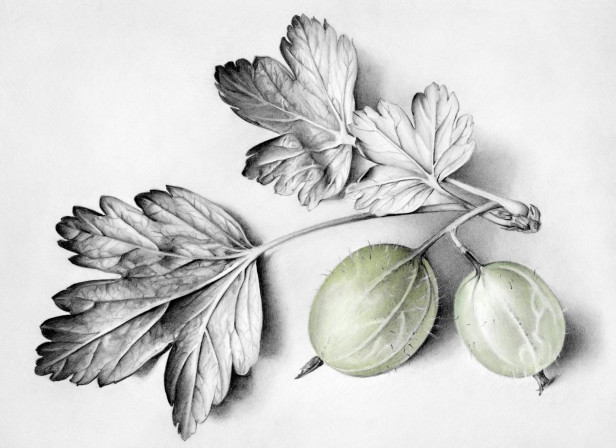 Still Life Two Gooseberries With Leaves