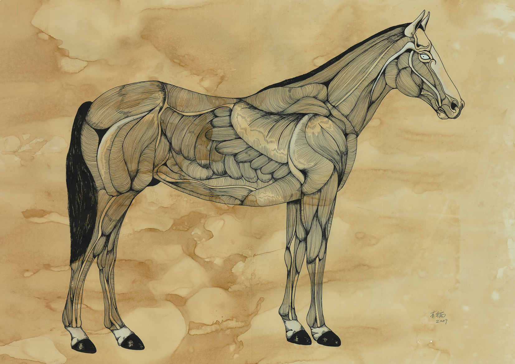 Muscle Horse