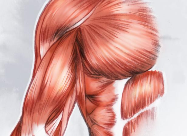 Musculature01_1.jpg